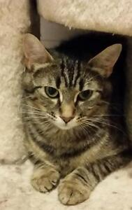 "Adult Female Cat - Domestic Short Hair: ""Kaylie"""