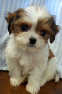 King charles cavalier x puppies