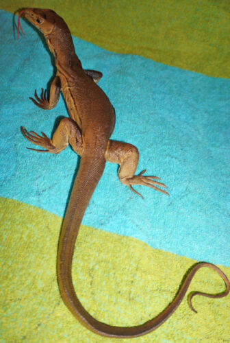 Desert Monitor Lizard Replica - Young Brown - Realistic PVC