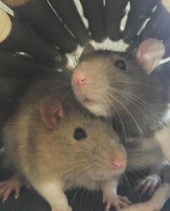 Rats to go to a good home -NOT FEEDER