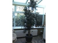Weeping fig houseplant, mature 7.6ft high. Comes in jade colour ceramic planter.