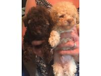 Gorgeous chocolate boy pure toy poodle ready now