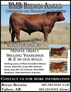Red Angus Bulls For Sale