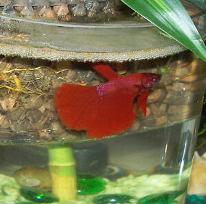 Delta Show Betta Fish Now in stock! Amazing Colors!