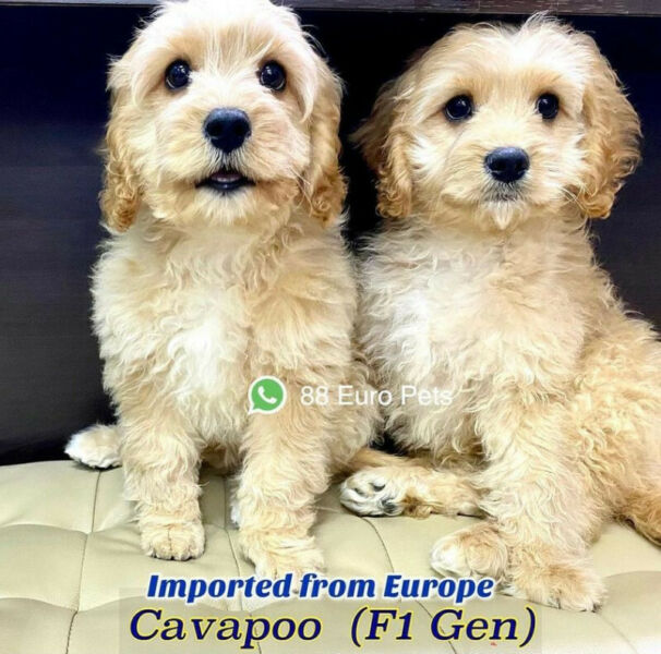 Cavapoo Puppies for Sale (Imported from Europe) Call 81352277