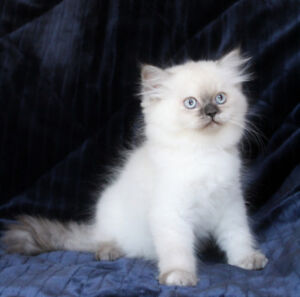 VERY FRIENDLY Persian Kittens with Blue Eyes