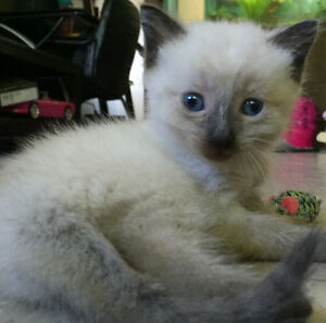 Beautiful Siamese chocolate point kitten looking for a home! Peterborough Peterborough Area image 4