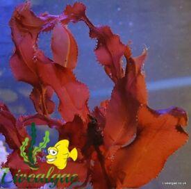 Cryptonemia Macro Algae for Marine Tank, Seahorse Aquarium & Reef Tank. Beautiful as Coral Frags