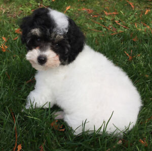 Fluffy black and white parti toy Poodle puppy