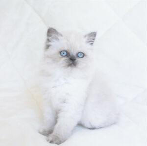 Female Persian Kittens with Blue Eyes for Rehoming