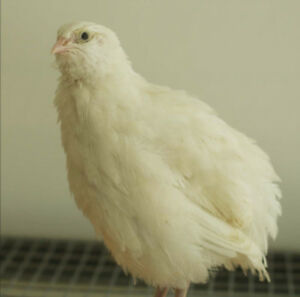 Coturnix quail chicks starting from $1.00