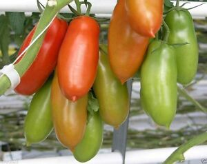 ... -tomato-Known-as-the-greatest-sauce-tomato-in-the-world-50-Seeds