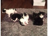 Beautiful black and white kittens, 8 weeks old, ready for collection now £35
