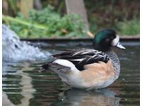 Chiloe Wigeon ducks - 2016 bred