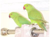 Baby Ringneck talking parrots for sale