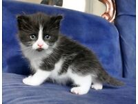 Girl kitten, 9 weeks, black and white, litter trained and wormed
