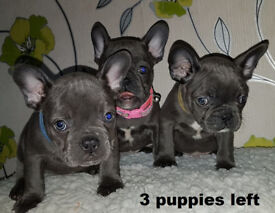 3 gorgeous Frenchies KC Solid Blue ready to leave