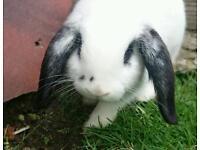 **Male** Mini Lop Rabbit