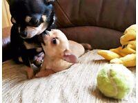 Chihuahua Puppy, (Female) £325.