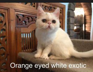 Persian and exotic pedigree littens