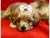 Maltipoo Maltese toy poodle puppies Silver apricot Champagne puppy small stunning