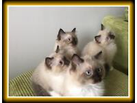Beautiful Ragdoll Kittens 4 Male