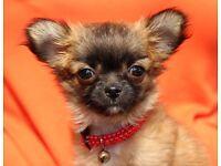 Beautiful 12wk girl tiny wolf sable chorkie Chihuahua