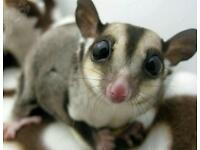 Sugar gliders male female 11 months old