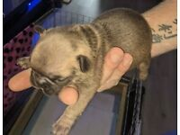 French bulldog puppy *ready to view NOW *taking appointments now*
