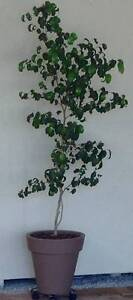 Benjamin 'Curly Ben' Fig in Tall Pot West Busselton Busselton Area Preview