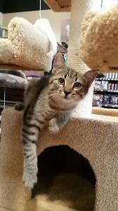 *ADOPTED* TOTALLY TERRIFIC TABBY KITTENS