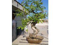 Exceptional Quality Yamadori Downy Oak Bonsai