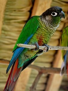 Two Young Green Cheek Conures For Sale