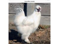 Silky Rooster, free to good home.