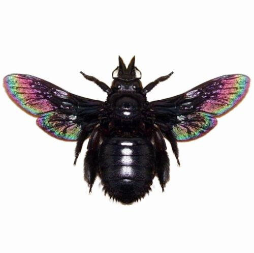 Xylocopa latipes black iridescent carpenter bee Indonesia mounted packaged