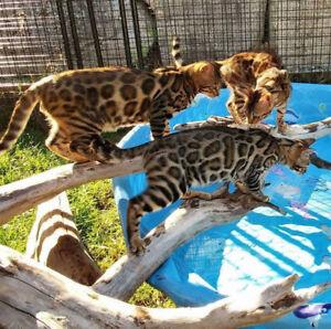 Premium Rosetted Bengal Kittens from TICA Registered Breeder