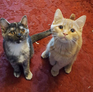 Adorable Persian/Siamese kittens looking for new homes