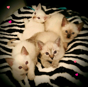 ❤❤SUPERBES CHATONS SIAMOIS❤PURE SIAMESE KITTENS❣❣