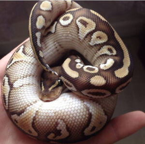 Male Mojave Ball Python Rehoming - Everything Included