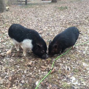 Beautiful potbelly piglets for sale