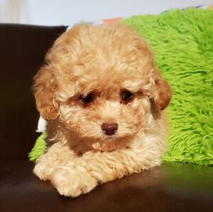 Caniche  (poodle)