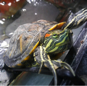 Free red eared slider