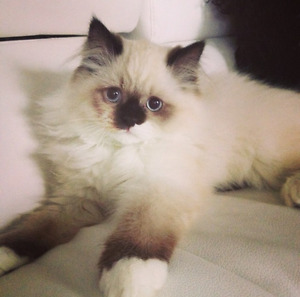 Ragdoll/Birman Mix - Cat For Sale