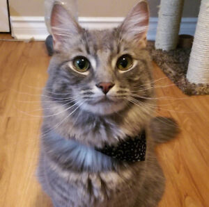 2 year old cat + accessories for sale