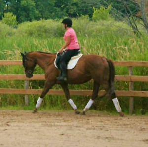 16hh Thoroughbred Mare