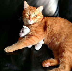 Lost Orange male Tabby cat
