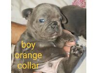 Beautiful French Bulldogs for sale 3 LEFT!!!