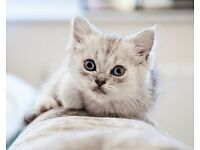 British shorthaired kitten (only one silver girl left)