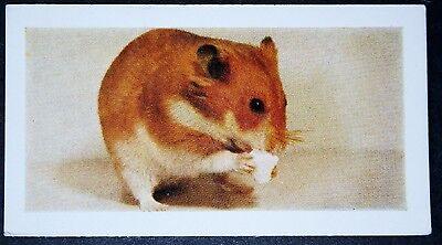 HAMSTER Pet   Vintage  Colour Photo Card ## VGC