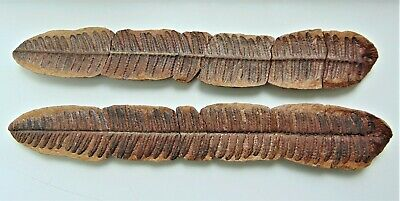 Highly Detailed Pair of Fern Fronds Fossil Pecopteris